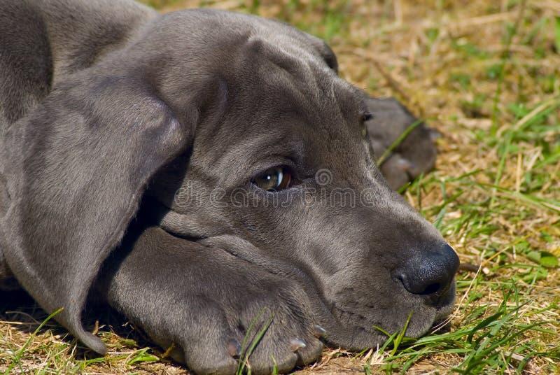 Puppy van grote Deen stock afbeelding