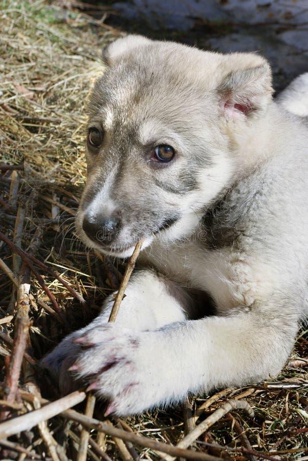 Puppy van het Centrale Aziatische herdershond kauwen op een stok stock foto's