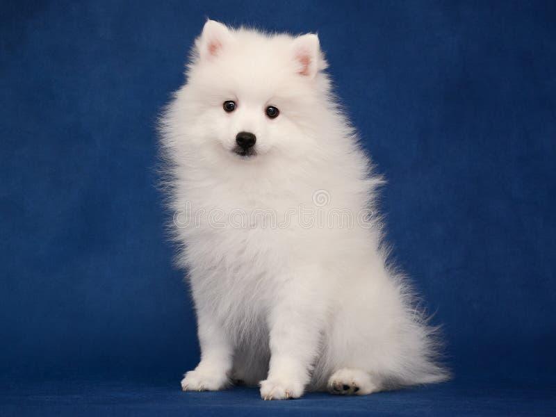 Puppy van Japanse witte spitz op blauwe achtergrond royalty-vrije stock foto