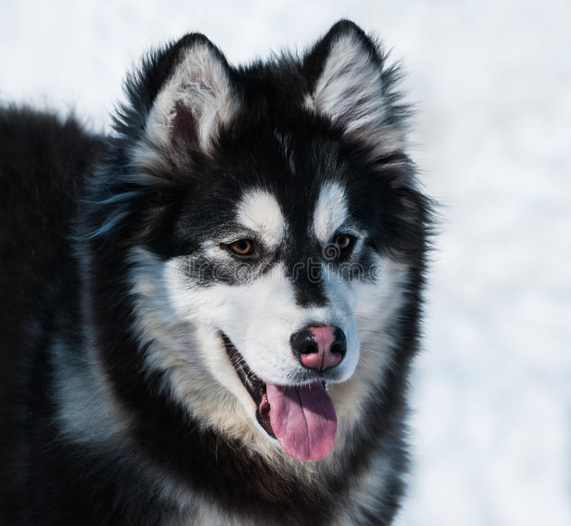 Puppy van mengelingsras Malamute van Alaska en Siberische schor royalty-vrije stock afbeeldingen