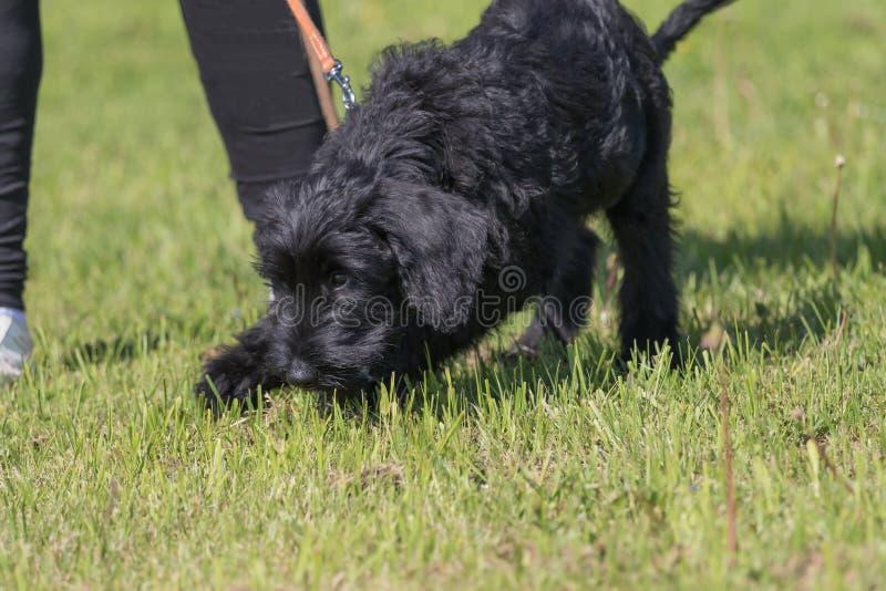 Puppy van schnauzerhond opleiding het zoeken naar aanwijzingen stock foto's