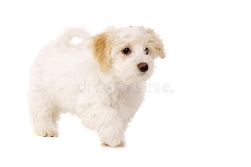 Download Puppy Walking Isolated On A White Background Stock Image - Image: 28900129