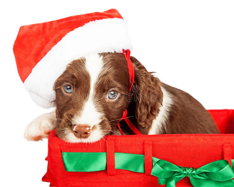 Puppy Wearing Santa Hat In Gift Basket royalty free stock photos