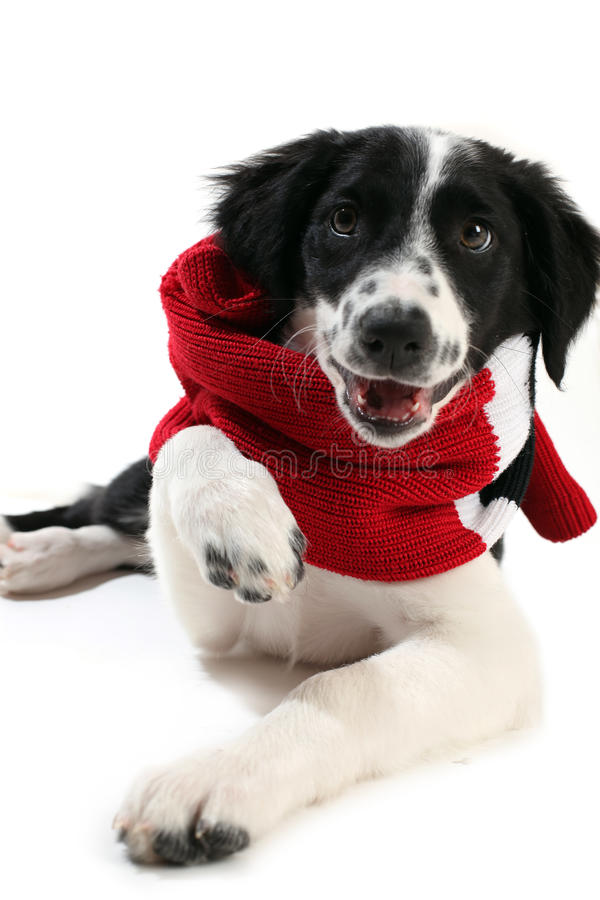 Puppy wearing a scarf royalty free stock photo