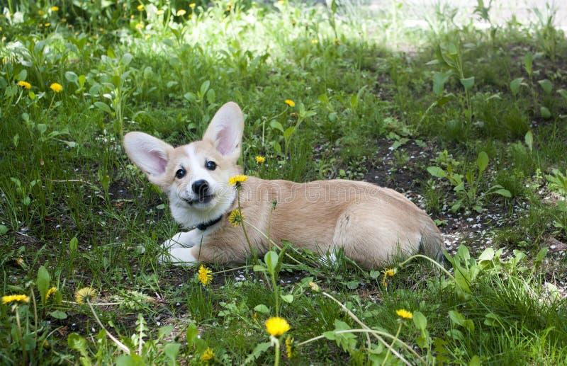 Puppy Welse corgi pembroke royalty-vrije stock afbeelding