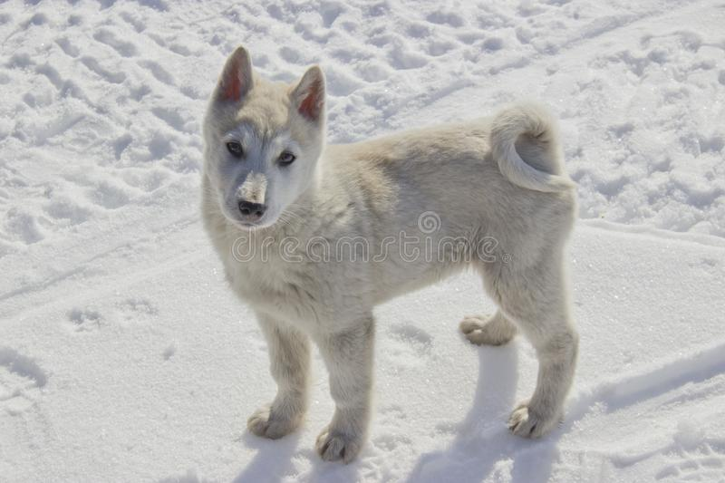 Puppy West Siberian Laika. Breed of hunting dogs of the Northern forest zone royalty free stock photography
