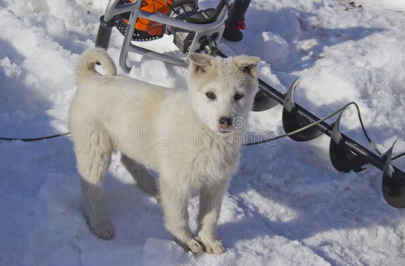 Puppy West Siberian Laika. Breed of hunting dogs of the Northern forest zone royalty free stock photos