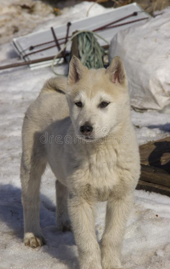 Puppy West Siberian Laika. Breed of hunting dogs of the Northern forest zone stock image