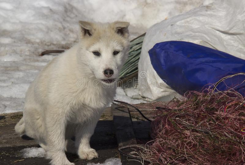 Puppy West Siberian Laika. Breed of hunting dogs of the Northern forest zone stock images