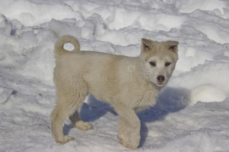 Puppy West Siberian Laika. Breed of hunting dogs of the Northern forest zone royalty free stock photo