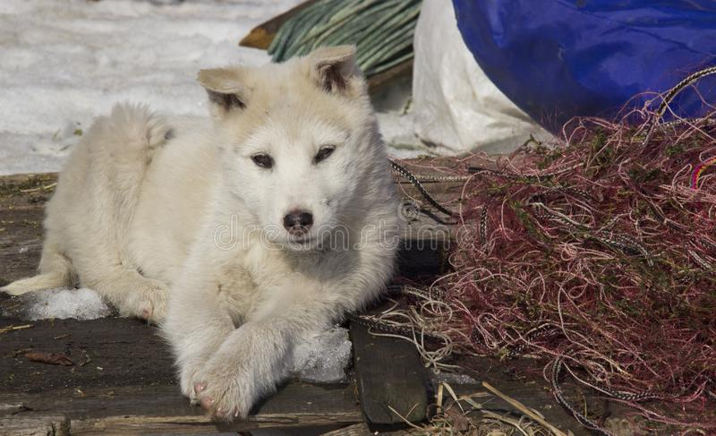 Puppy West Siberian Laika. Breed of hunting dogs of the Northern forest zone stock photo