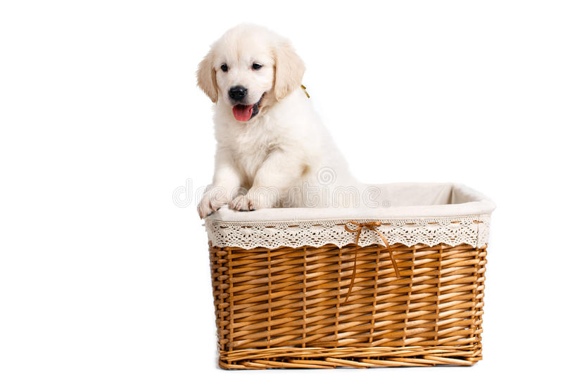 Puppy white Labrador posing in a wicker basket. Beautiful little puppy, breed white Labrador (Retriever), with black eyes and black noses,peeking out of a light royalty free stock photo