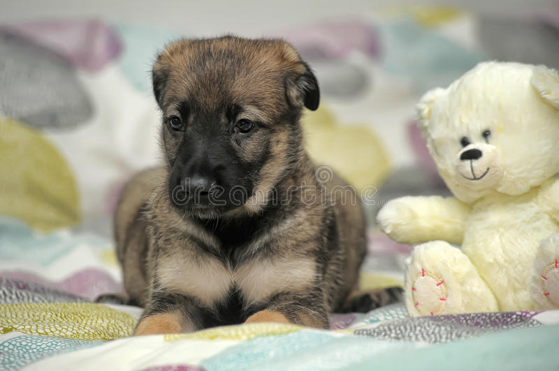 Puppy with a white teddy bear. Little puppy crossbreed sheep dog on a light background stock images