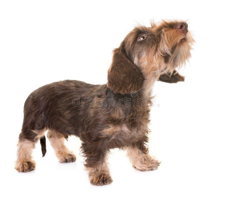 Puppy Wire-haired Tekkel royalty-vrije stock foto's