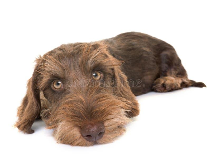 Puppy Wire-haired Tekkel royalty-vrije stock afbeeldingen