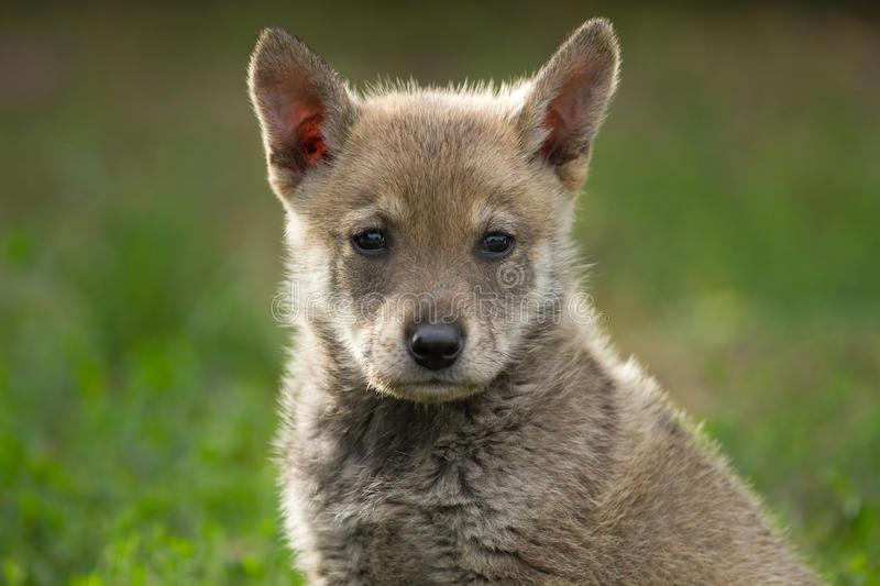 Puppy wolf royalty free stock photography