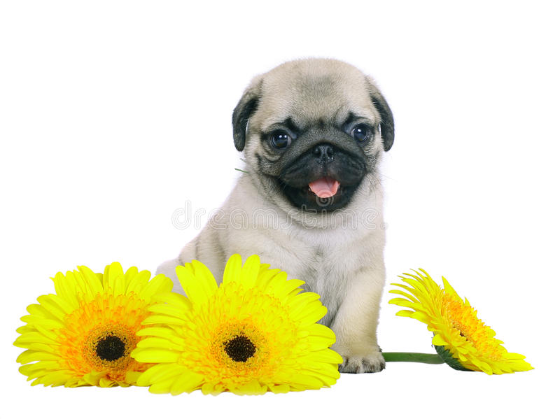 Puppy with yellow chrysanthemums. Puppy with yellow flowers isolated on white background stock images