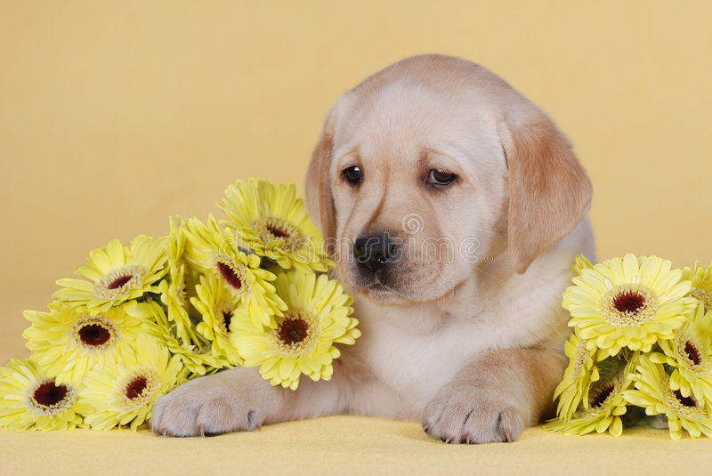 Download Puppy with yellow flowers stock image. Image of color - 1700089