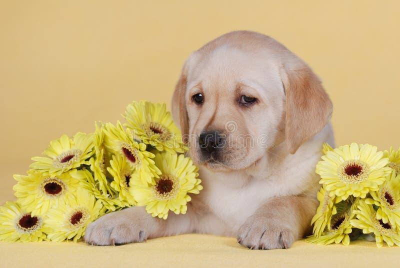 Puppy with yellow flowers. Labrador retriever puppy with yellow flowers royalty free stock images