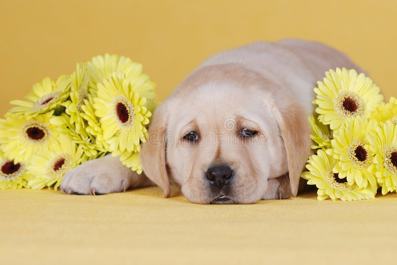 Puppy with yellow flowers. Labrador retriever puppy portrait with yellow flowers royalty free stock photography
