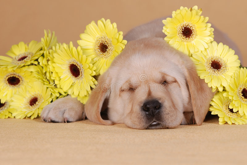 Puppy with yellow flowers. Labrador retriever puppy portrait with yellow flowers stock photography