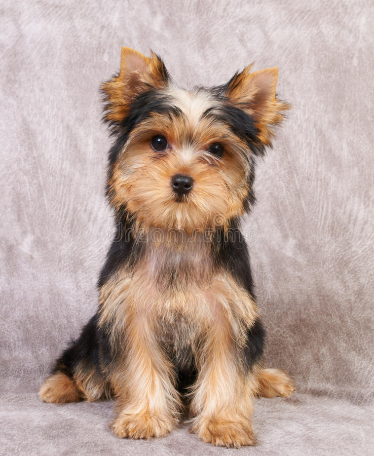 Download Puppy Of The Yorkshire Terrier Stock Image - Image: 24360077