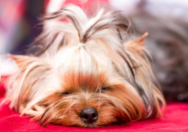 Download Puppy Yorkshire terrier stock photo. Image of cute, brown - 25377942