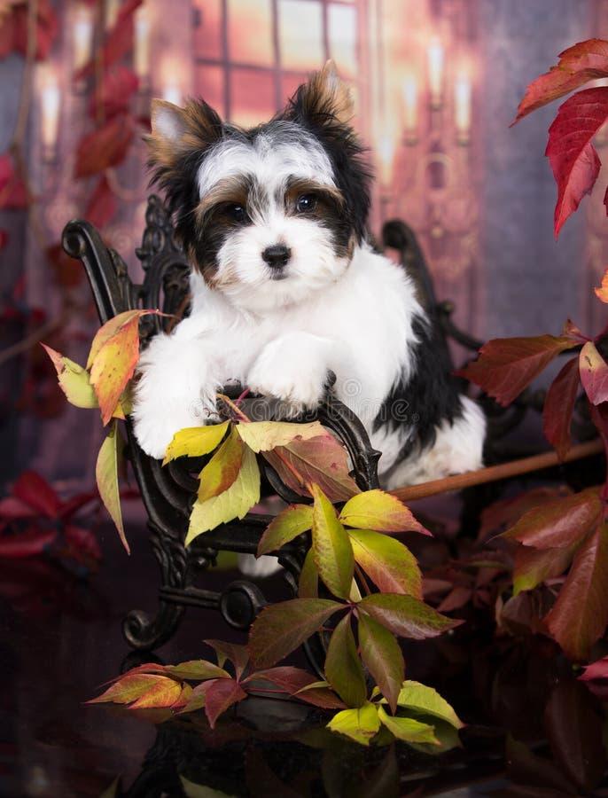 Puppy Yorkshire Terrier-herfst en rode bladeren, oktober royalty-vrije stock afbeelding