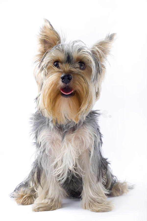 Puppy yorkshire terrier looking at the camera royalty free stock photos