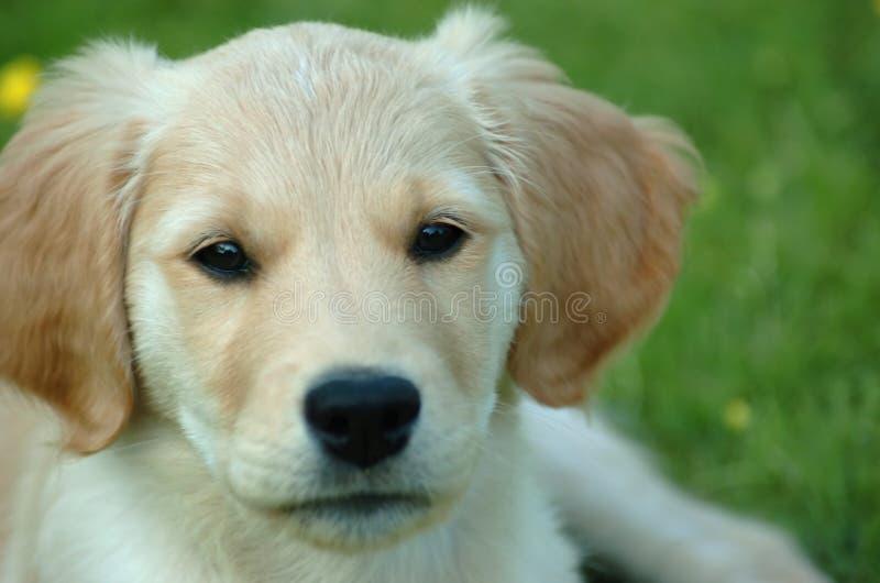Puppy1 fotos de stock royalty free