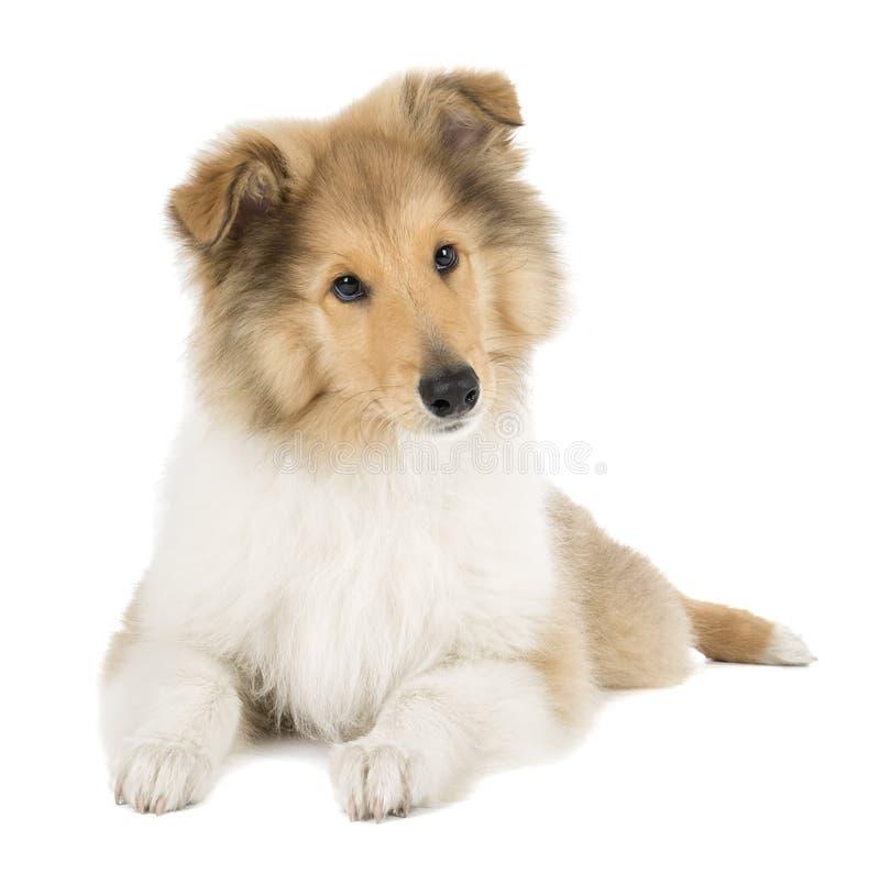 Puppycollie stock fotografie