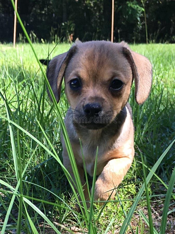 Puppycuteness stock foto