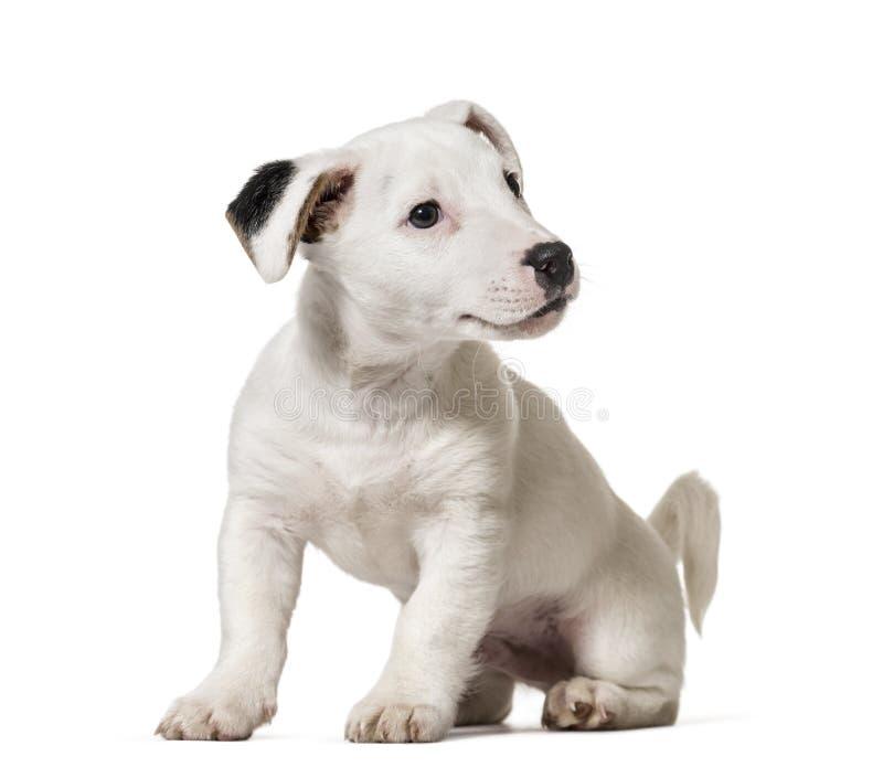 Puppyhefboom Russell Terrier, hond, (8 die maanden oud), op whi worden geïsoleerd royalty-vrije stock afbeelding