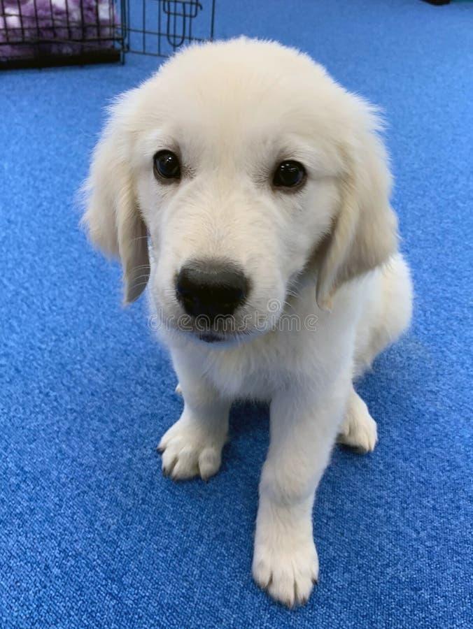 Puppyhond labrador retriever die portret zitten royalty-vrije stock foto