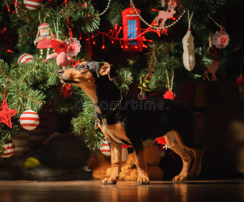 Puppyhond onder Nieuwjaarboom voor vakantie wordt verfraaid die stock foto's