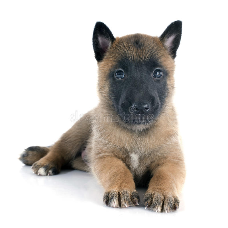 Puppymalinois stock foto's