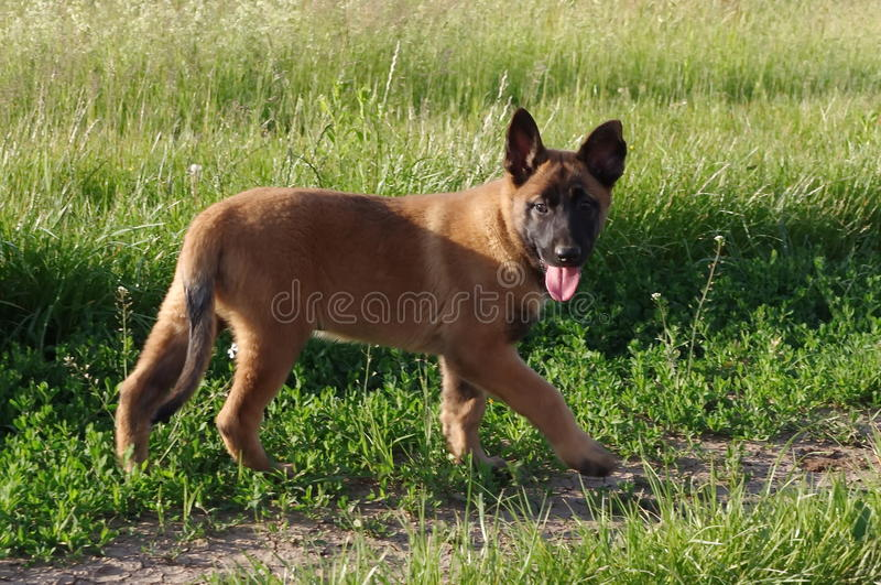 Puppymalinois royalty-vrije stock foto's