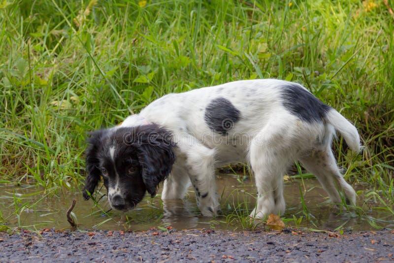 Puppyonderbreking, een jong puppy die een blik in modderige vulklei hebben royalty-vrije stock afbeeldingen