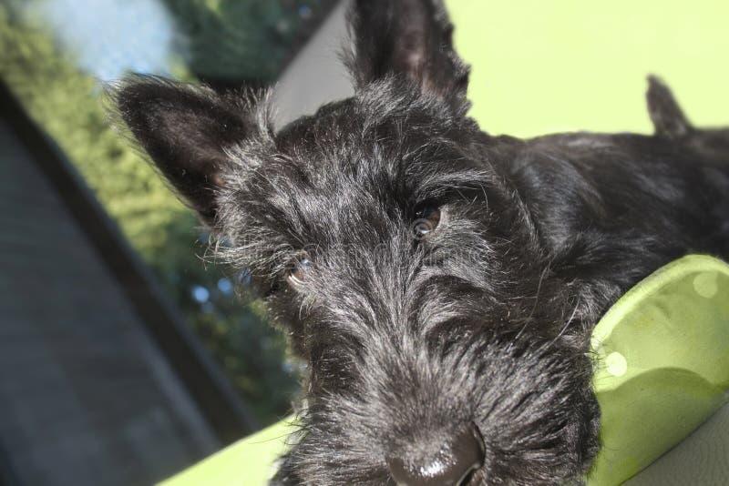 Puppyportret royalty-vrije stock foto's