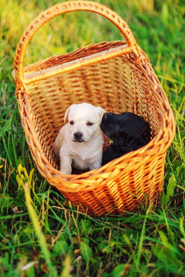 Puppys品种玩具狐狸狗在夏天绿草的公园,坐在一个柳条筐 免版税图库摄影