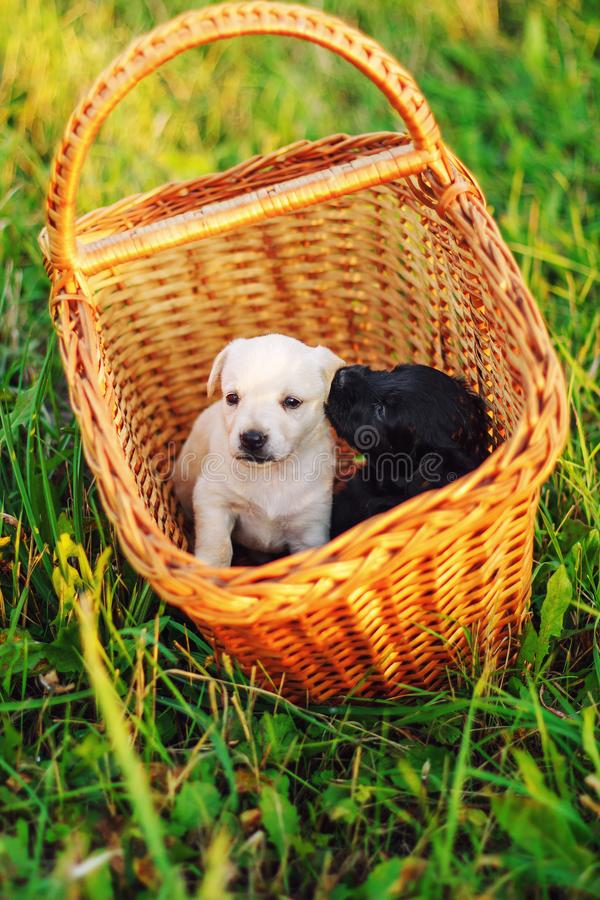 Puppys breed Toy fox terrier in the summer the park on the green grass, sitting in a wicker basket royalty free stock photography