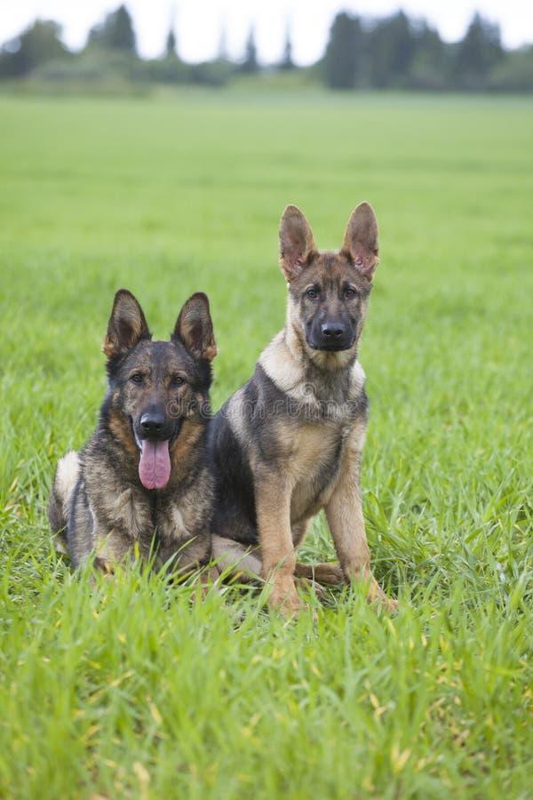 Puppys du ` s de berger allemand image libre de droits