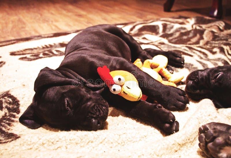 Puppyslaap met stuk speelgoed stock foto