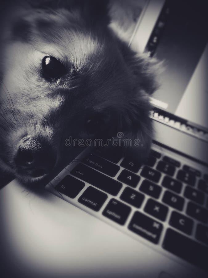 Puppyslaap op computer stock fotografie