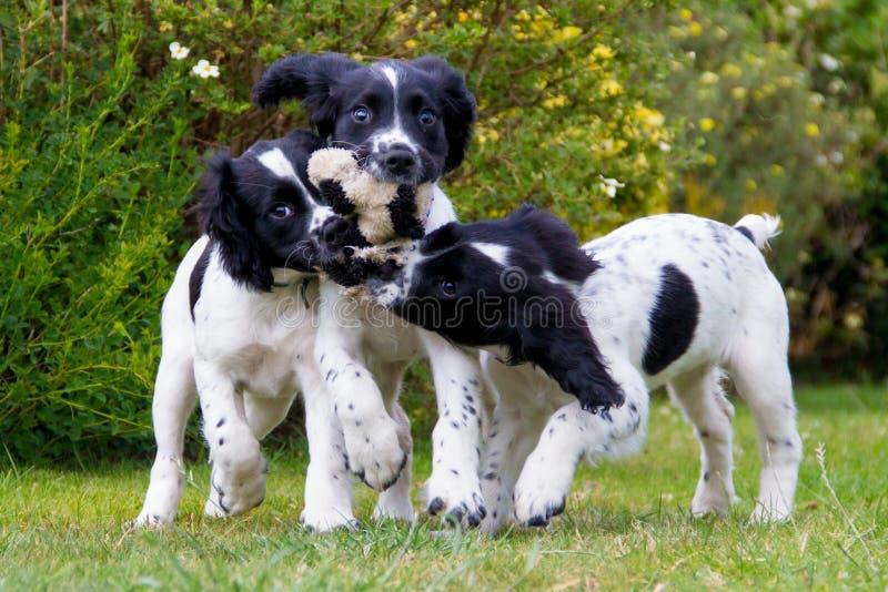 Puppyspeeltijd, drie jonge puppy die delend één stuk speelgoed lopen stock fotografie