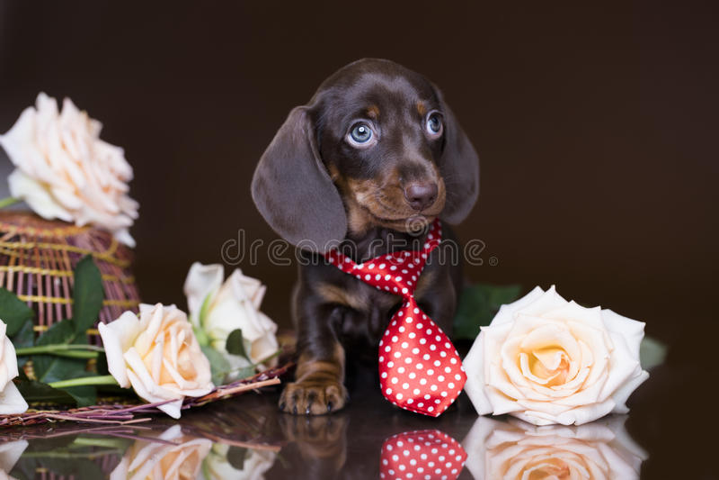 Puppytekkel stock afbeelding