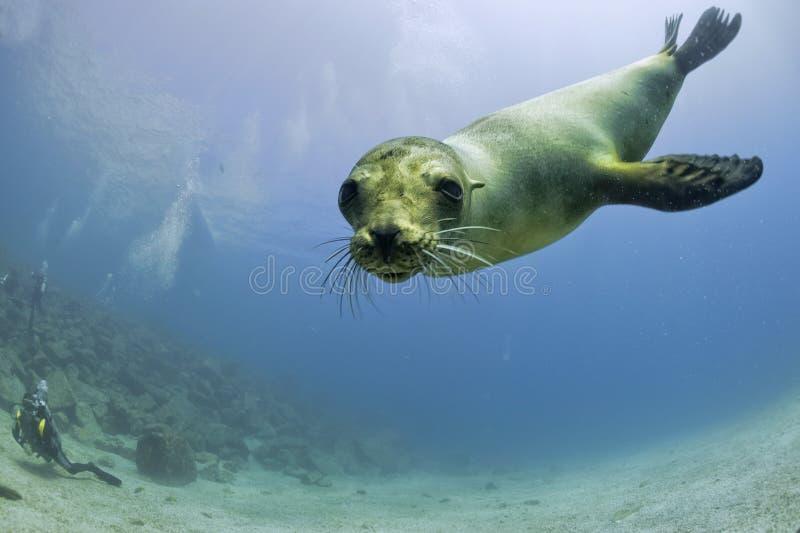 Puppyzeeleeuw het onderwater bekijken u royalty-vrije stock fotografie
