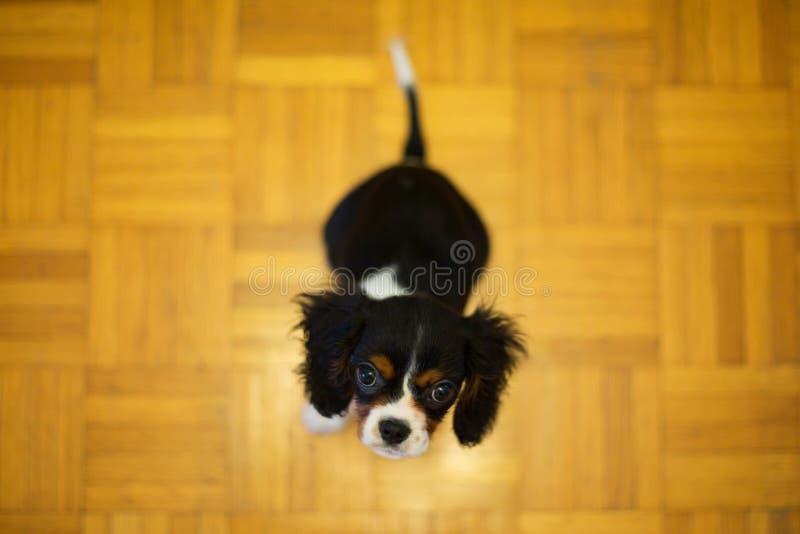 Puppyzitting op de Vloer stock fotografie
