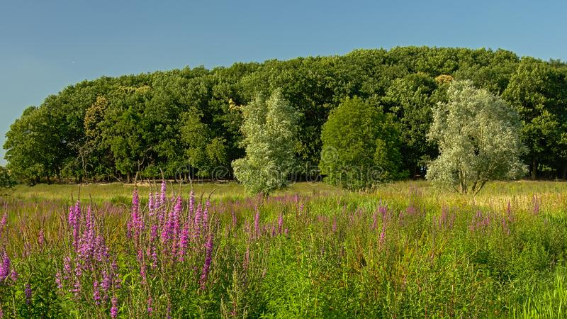 Purple loosetrife flowers, in a marsh landscape in Kalkense meersen nature reserve, Flanders royalty free stock photography