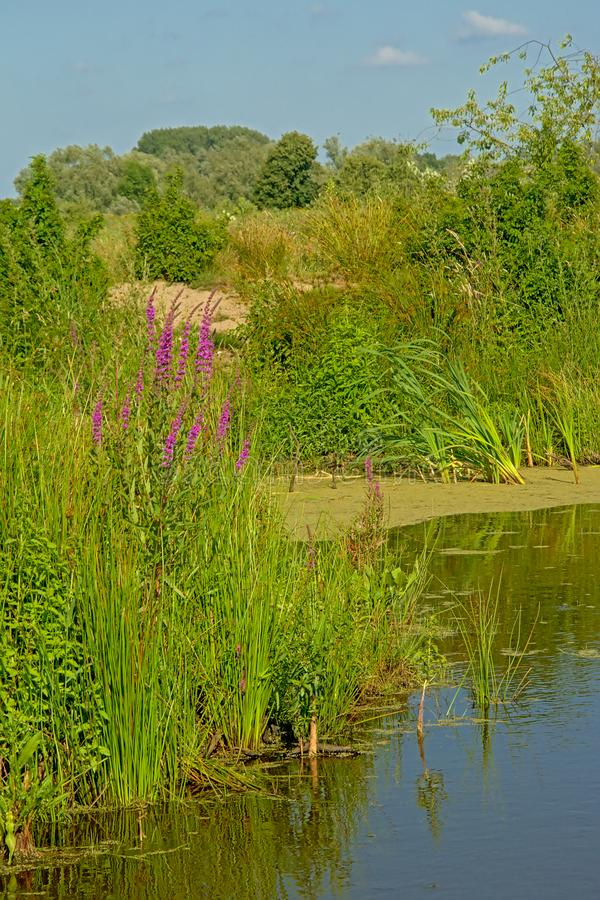 Purple loosetrife flowers, reed and trees on the side of a peat lake - Lythrum salicaria royalty free stock photos